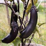 I Am The Eggplant, Man