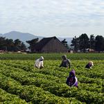 Sakuma Strawberry Farm
