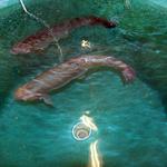 EMF Test on Salmon