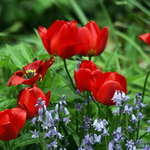 Tulips, Wood Squill and Edible Bachelor Buttons